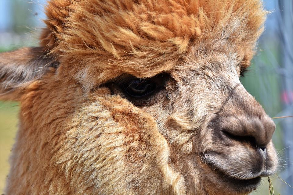 Alpakas – die ganz besonderen Tiere